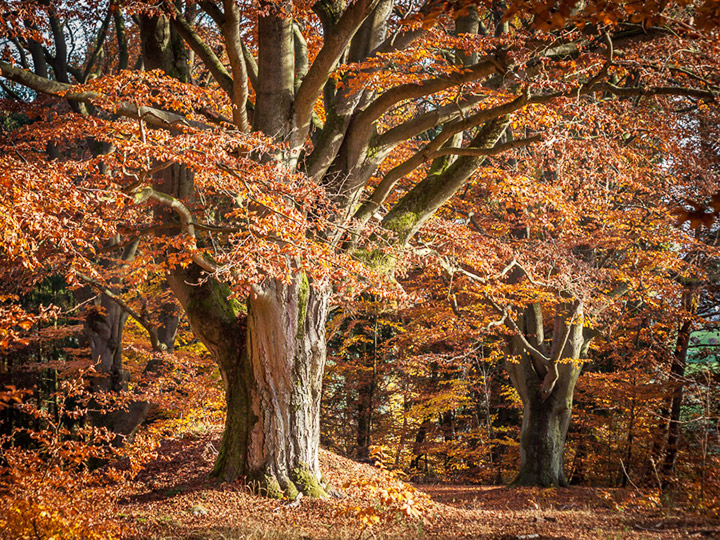 European beech tree in Hutewald Halloh, Germany. Credit: Flickr/liebermann