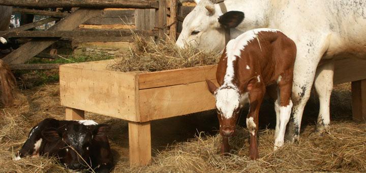 Cow Calves Landis Valley