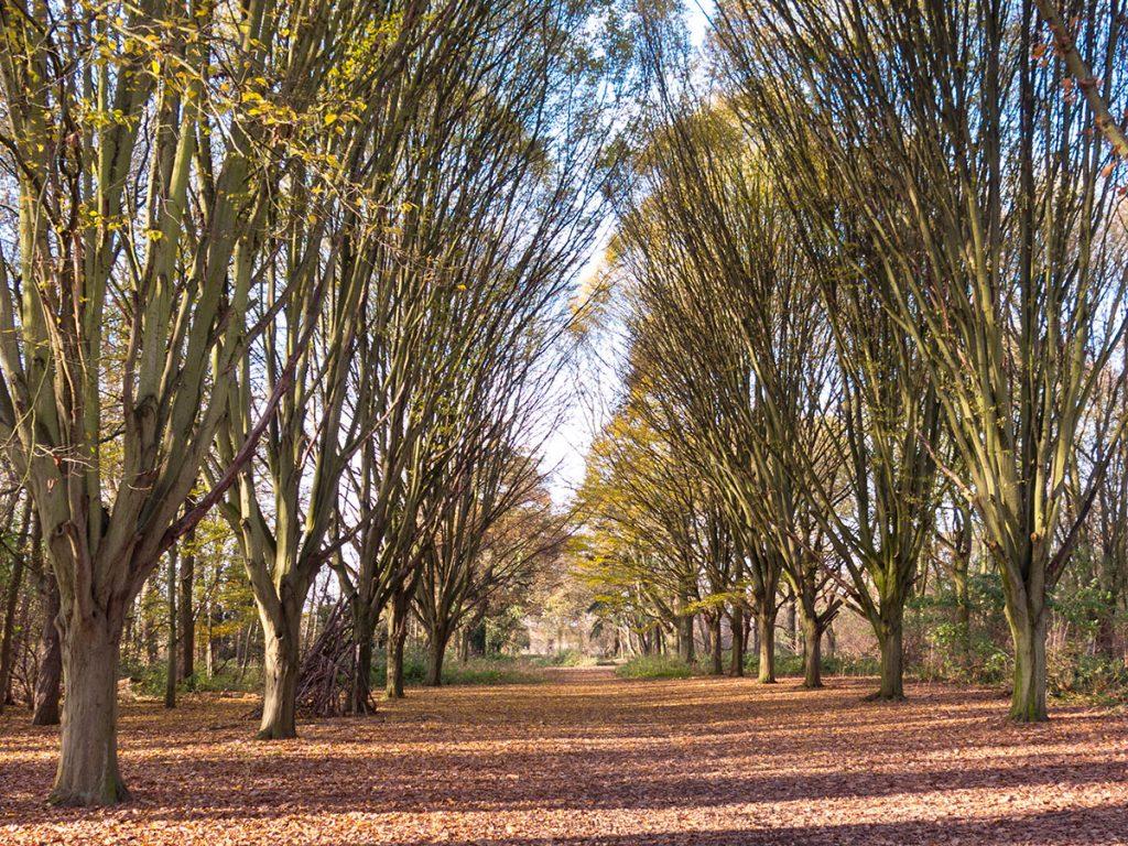 Hornbeam Trees