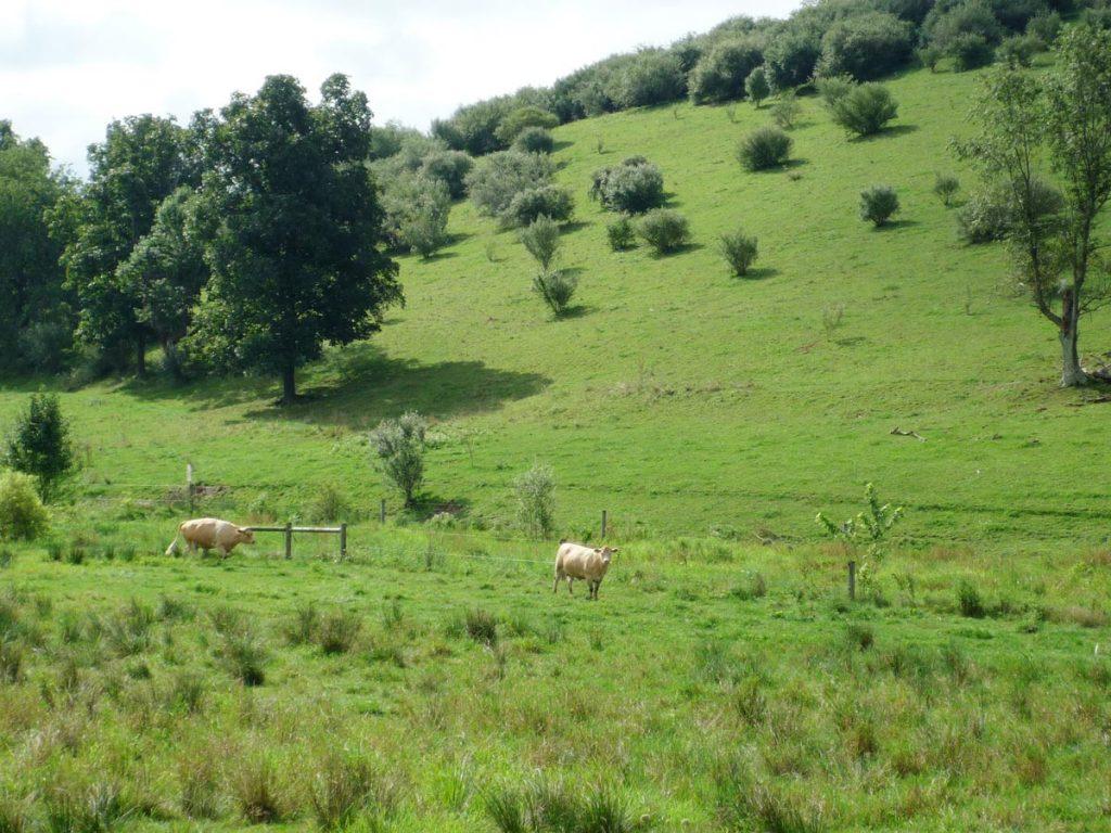 Cows Hagenbuch Homestead