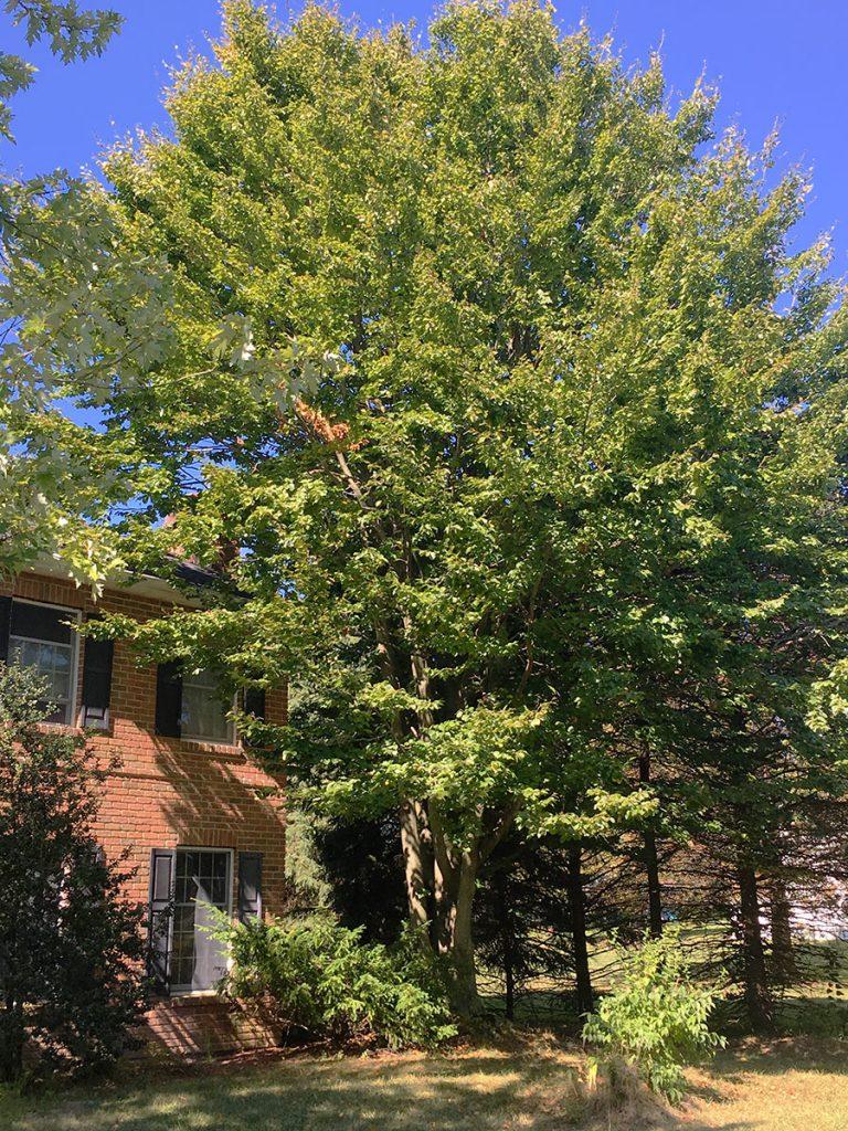 Beech Tree Hagenbuch House Dillsburg