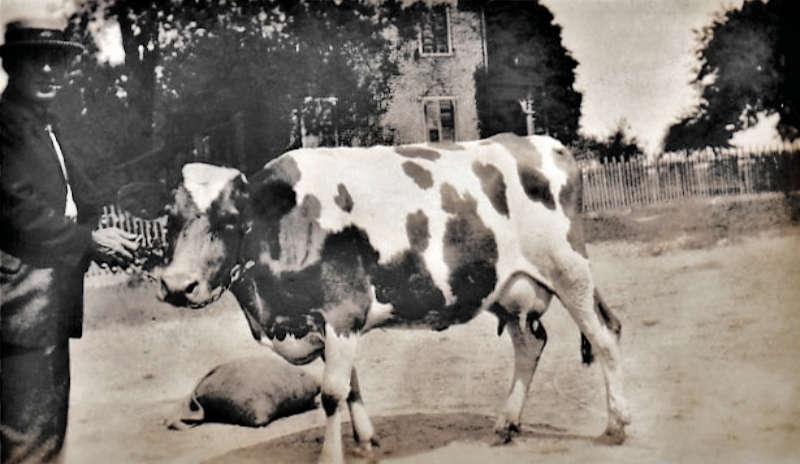 Andrew Pierce Hagenbuch Farm Cow